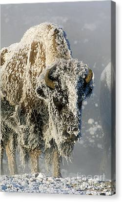 Hoarfrosted Bison In Yellowstone Canvas Print by Sandra Bronstein
