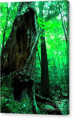 Hollow Maple Tree Canvas Print by Thomas R Fletcher