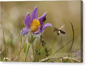 Honeybee At Pasque Flower Canvas Print by David & Micha Sheldon