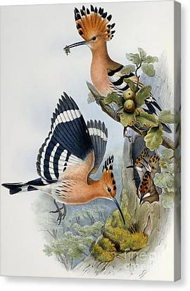 Hoopoe Canvas Print by John Gould