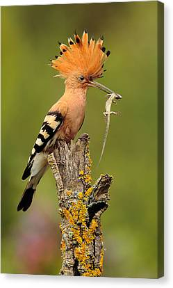 Hoopoe With Lizard Canvas Print by Andres Miguel Dominguez