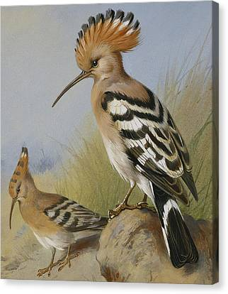 Hoopoes Canvas Print by Archibald Thorburn