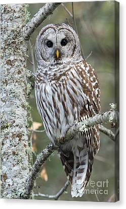 Hoot Hoot Hoot Are You Canvas Print by Beve Brown-Clark Photography