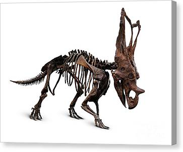 Horned Dinosaur Skeleton Canvas Print by Oleksiy Maksymenko
