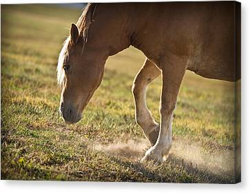 Horse Pawing In Pasture Canvas Print by Steve Gadomski