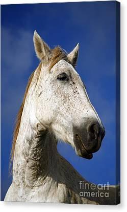 Horse Portrait Canvas Print by Gaspar Avila
