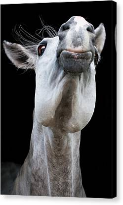 Horse Pulling Face Canvas Print by Peter Meade