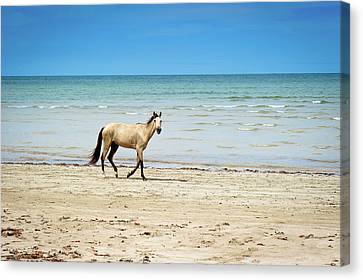 Horse Walking On Beach Canvas Print by Vitor Groba