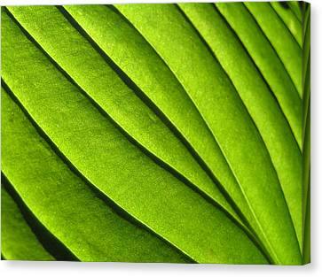 Hosta Leaf 2 Canvas Print by Dustin K Ryan