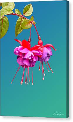 Hot Pink Fuchsias Canvas Print by Diana Haronis