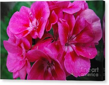 Hot Pink Geranium Canvas Print by Sharen Duffing