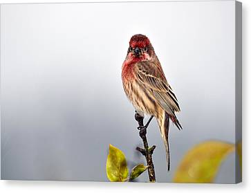 House Finch In Autumn Rain Canvas Print by Laura Mountainspring