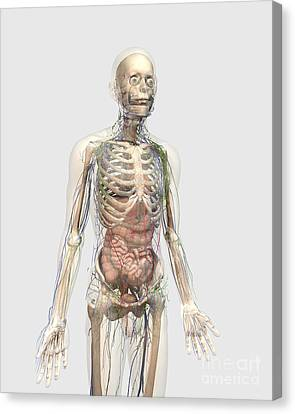 Human Body With Internal Organs Canvas Print by Stocktrek Images