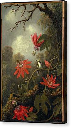 Hummingbird And Passionflowers Canvas Print by Martin Johnson