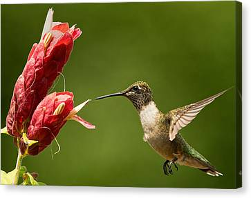 Hummingbird Approaches Flower Canvas Print by William Jobes