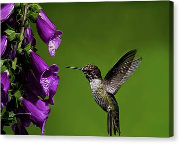 Hummingbird Ballet Canvas Print by Lara Ellis