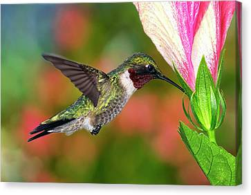 Hummingbird Feeding On Hibiscus Canvas Print by DansPhotoArt on flickr