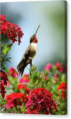 Hummingbird Garden Guardian Canvas Print by Christina Rollo