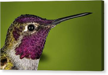 Hummingbird Head Shot With Raindrops Canvas Print by William Lee