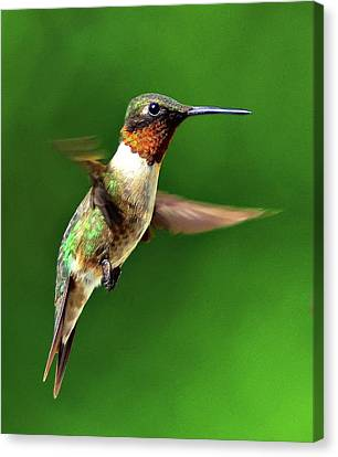 Hummingbird In Mid-air Canvas Print by Jeff R Clow