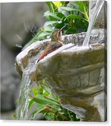 Hummingbirds Do Take Baths Canvas Print by Jennie Marie Schell