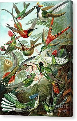 Hummingbirds Canvas Print by Ernst Haeckel