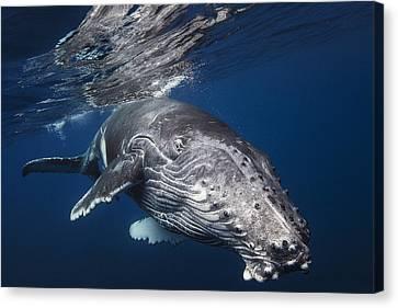 Humpback Whale Canvas Print by Barathieu Gabriel