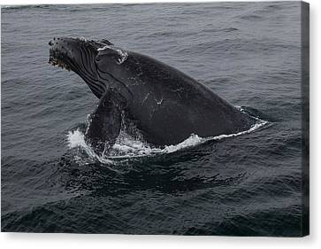 Humpback Whale Breach Canvas Print by Tory Kallman