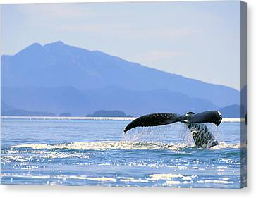 Humpback Whale Flukes Canvas Print by John Hyde - Printscapes