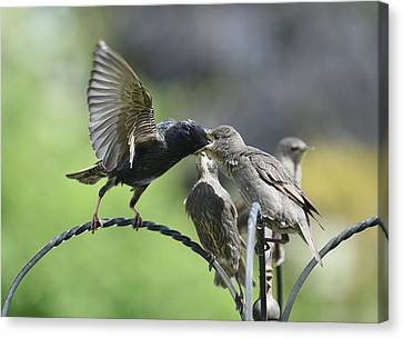 Hungry Baby Starlings Canvas Print by Simon Dack