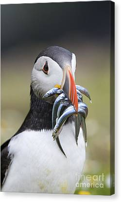 Hungry Puffin Canvas Print by Tim Gainey