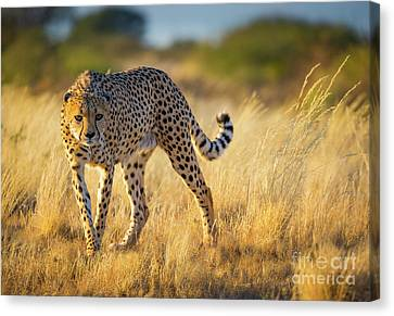 Hunting Cheetah Canvas Print by Inge Johnsson