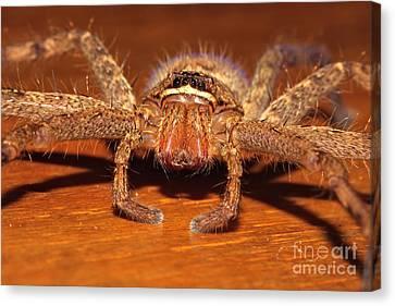 Huntsman Spider Canvas Print by Joerg Lingnau