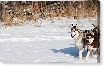 Huskies In Heaven Canvas Print by Peter  McIntosh
