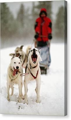 Husky Dog Racing Canvas Print by Axiom Photographic