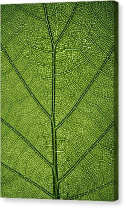 Hydrangea Leaf Canvas Print by Steve Gadomski