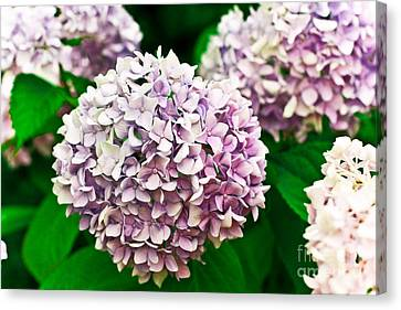 Hydrangea Purple Canvas Print by Ryan Kelly