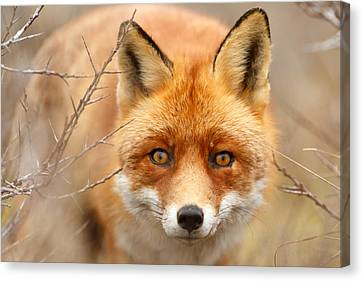 I See You - Red Fox Spotting Me Canvas Print by Roeselien Raimond