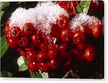 Iced Ruby Cluster - Tille Creek  Canvas Print by Soli Deo Gloria Wilderness And Wildlife Photography