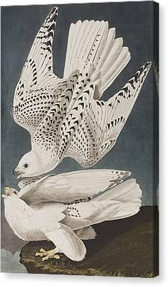 Iceland Falcon Or Jer Falcon Canvas Print by John James Audubon