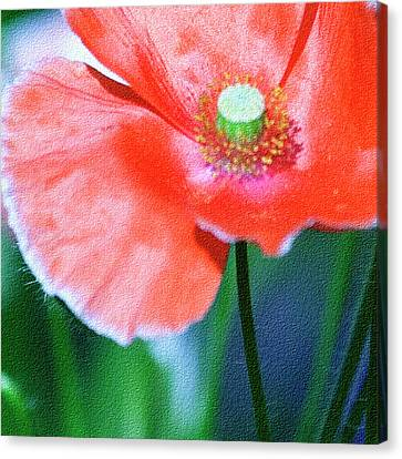 Icelandic Poppy Canvas Print by Bonnie Bruno
