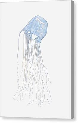 Illustration Of Box Jellyfish (cubozoa) Canvas Print by Dorling Kindersley
