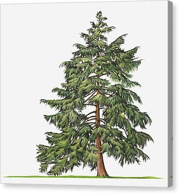 Illustration Of Evergreen Tsuga Canadensis (eastern Hemlock, Canadian Hemlock) Tree Canvas Print by Sue Oldfield