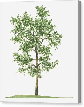 Illustration Of Pterocarpus Santalinus (red Sandalwood) Evergreen Tree Canvas Print by Tim Hayward