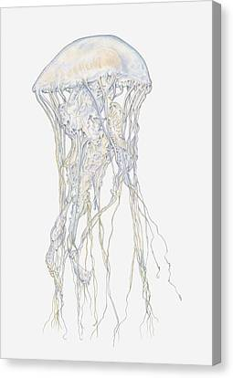 Illustration Of Sand Jellyfish (rhopilema Sp) Canvas Print by Dorling Kindersley