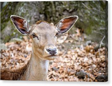 I'm All Ears Canvas Print by Randy Dyer