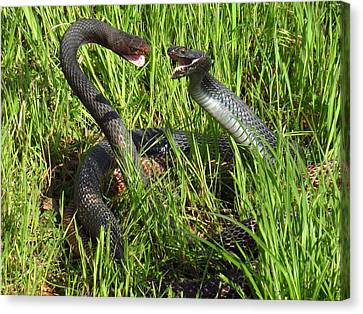 Coachwhip Snakes Fighting Canvas Print by John Myers