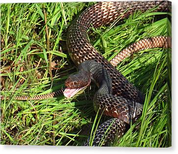 Coachwhip Snake In Grass Canvas Print by John Myers