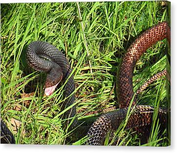 Two Toned Coachwhip Snake Canvas Print by John Myers