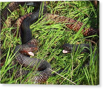 Coachwhip Snakes Face To Face Canvas Print by John Myers